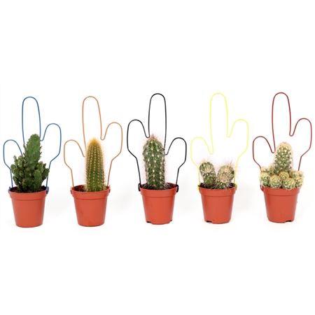 <h4>Cactus Draadcactus 5,5 Cm</h4>