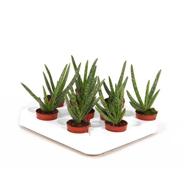 <h4>Aloe Vera 5,5cm</h4>