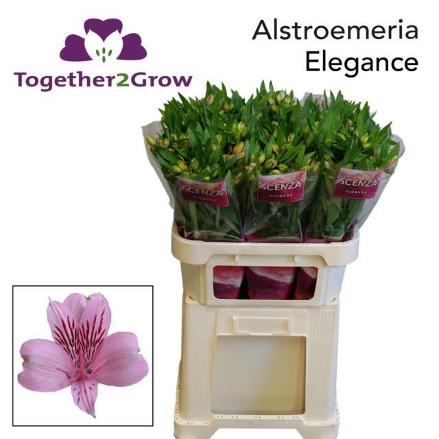 <h4>Alstr Elegance Pink Extra</h4>