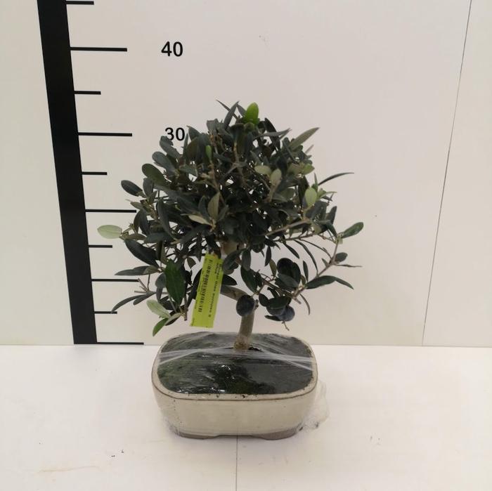 <h4>Bonsai Olea europea 9 años</h4>