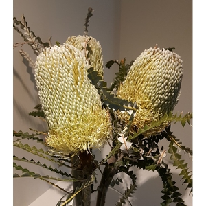 Banksia Natural Hookeriana