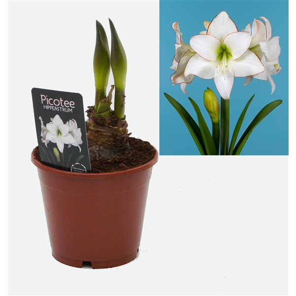 <h4>Hippeastrum Picotee exclusief</h4>