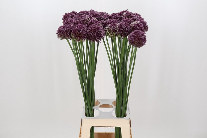 <h4>Allium Purple Mystery</h4>