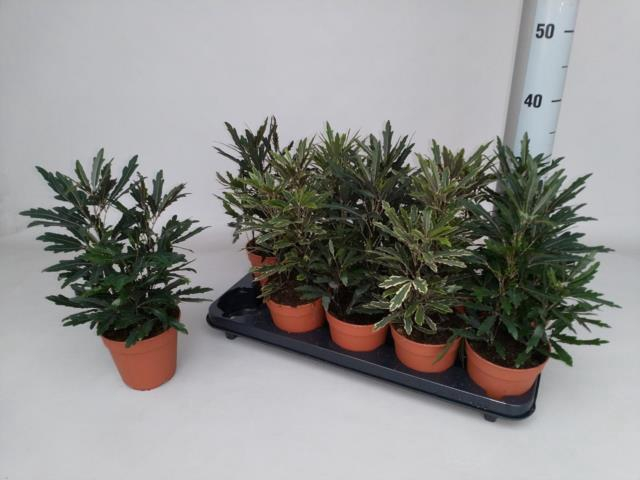 <h4>Dizygotheca elegantissima 12Ø 35cm</h4>