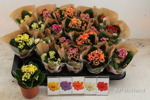 <h4>Kalanchoe Calandiva mix 5 colors 6Ø 12cm</h4>