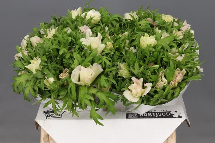 <h4>Anemone Mistral Plus Rosa Chiaro</h4>