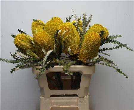 <h4>Banksia Speciosa Yellow</h4>