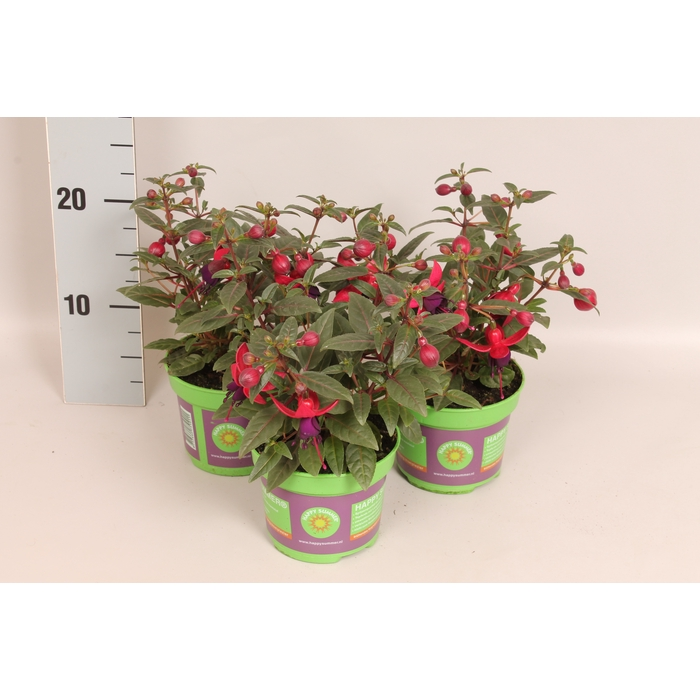 <h4>Fuchsia Bella Solia</h4>