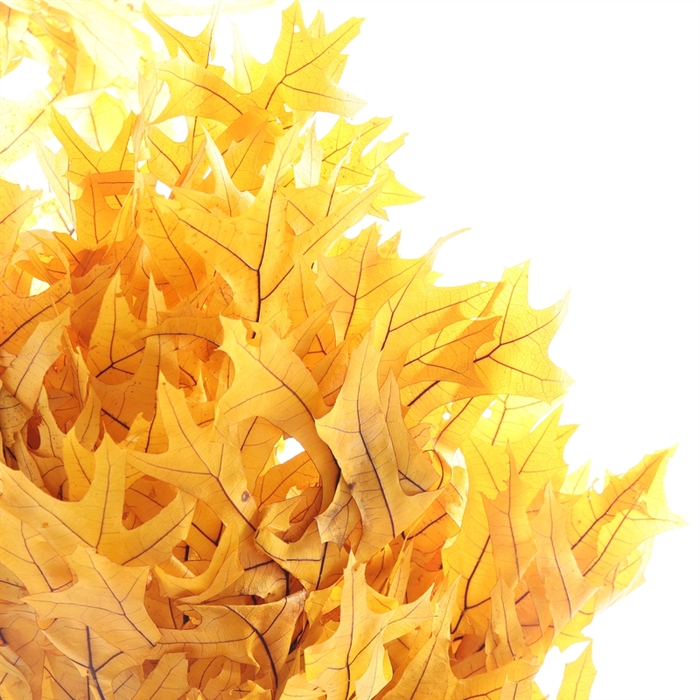 <h4>Dried Oak Yellow Preserved</h4>