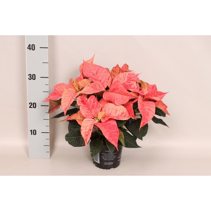 <h4>Poinsettia 13 cm Christmas Feelings® Fantasy</h4>