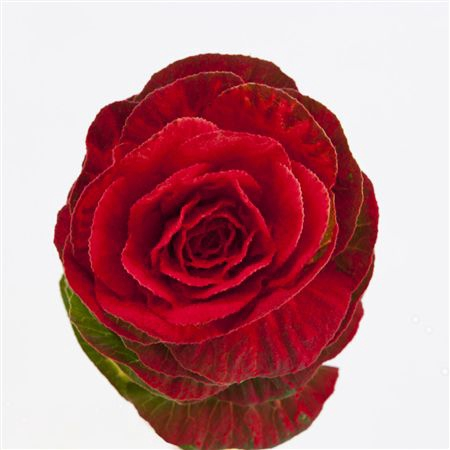 <h4>Brassica Powder Red</h4>