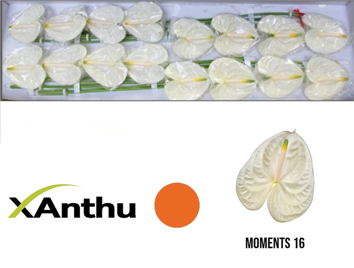 <h4>ANTH A MOMENTS</h4>