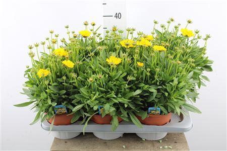 <h4>Coreopsis</h4>