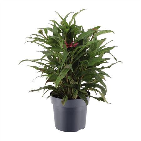 <h4>Echinacea Mooodz 17 Cm Roze</h4>