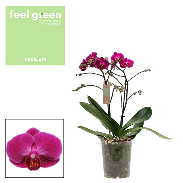 <h4>Phalaenopsis mf. Morelia</h4>