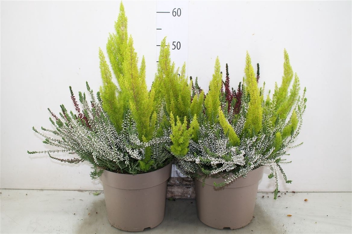 <h4>Calluna G Girls Trio Xl Mix Per Pot</h4>