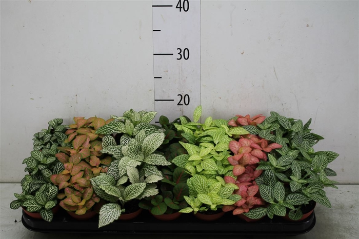 <h4>Fittonia Gemengd</h4>