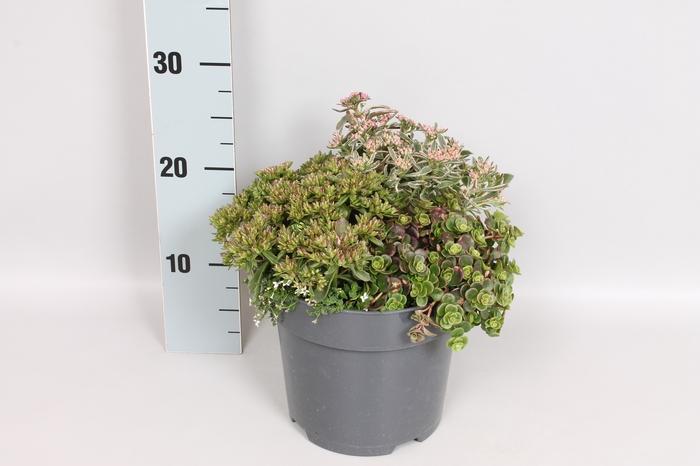 <h4>vaste planten 19 cm  Sedum Trio</h4>
