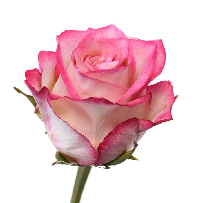 <h4>Rose Navarra</h4>