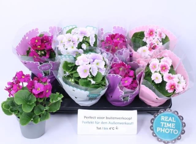<h4>Primula obconica Touch Me gemengd 12Ø 25cm</h4>