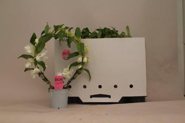 <h4>Dendrobium nob Star Class Apollon arceau</h4>