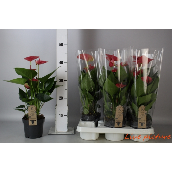 <h4>Anthurium Andr. Karma Sweetdream Pink</h4>