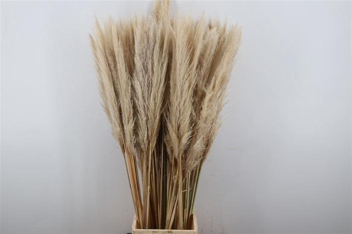 <h4>Dried Cortaderia</h4>