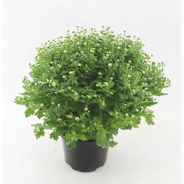 <h4>Chrysanthemum Jasoda White</h4>
