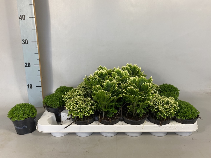 <h4>Selaginella gemengd</h4>