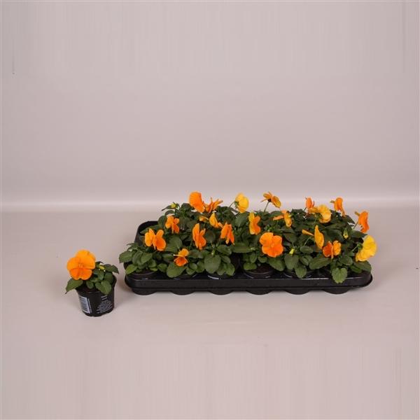 <h4>Viool F1 oranje</h4>