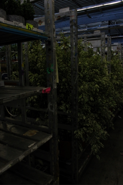 <h4>Ficus benja. 'Starlight'</h4>