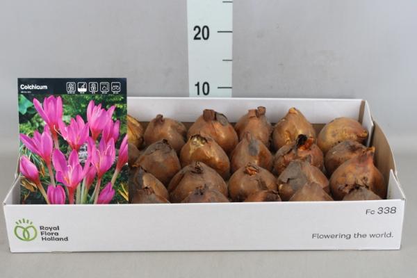 <h4>Flowerbulbs, corns or tubers   ...</h4>