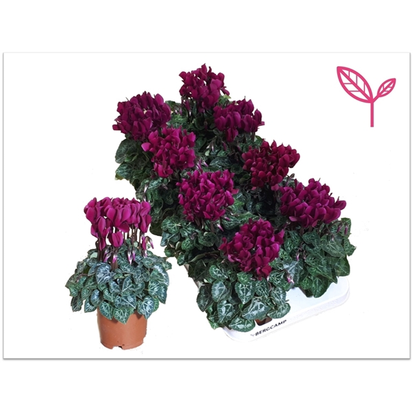 <h4>Cyclamen-COMPACT PAARS</h4>