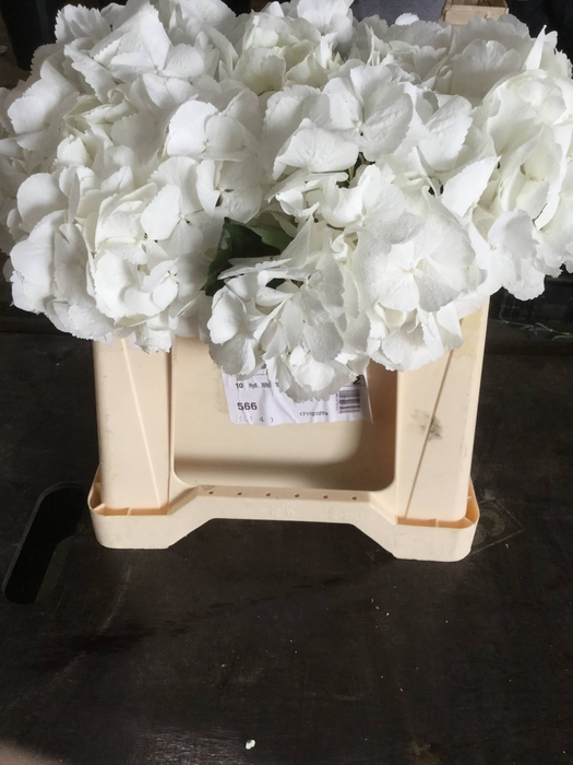 <h4>Hortensia Hyd Blanca</h4>