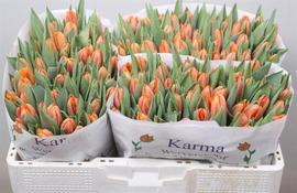 <h4>Tulip single Prinses Irene</h4>