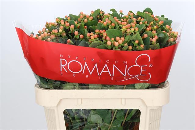 <h4>HYP MELLOW ROMANCE</h4>