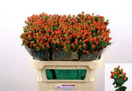 Hypericum Tomato Flair