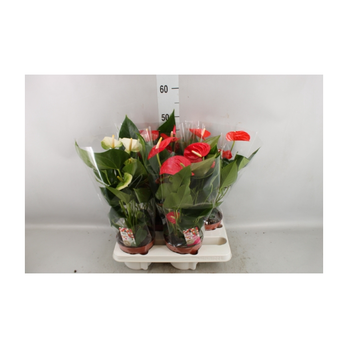 <h4>Anthurium andr.   ...mix 5</h4>