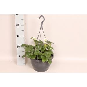 Hangpot 23 cm Fragaria White