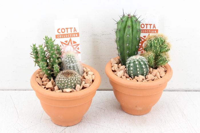 <h4>arr. UB - Terra potje mini cactus</h4>