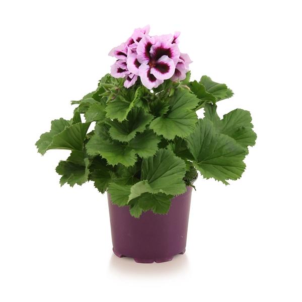 <h4>Pelargonium gr. Patricia</h4>