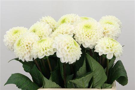 <h4>Dahlia Caro White</h4>
