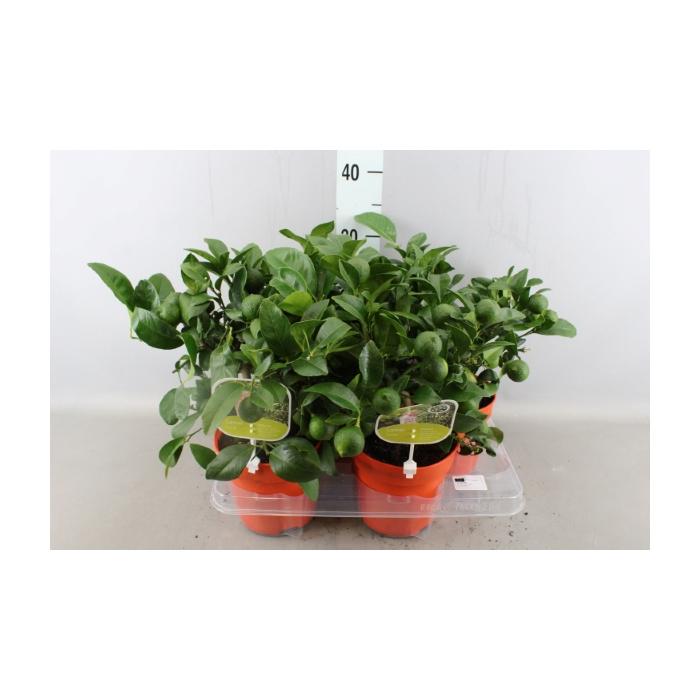 <h4>Citrus reticulata</h4>