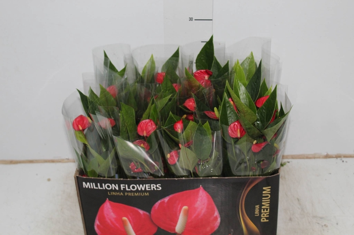 ANTHURIUM MINI MILLION FLOWERS P09