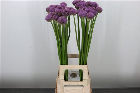 <h4>Allium Gladiator</h4>
