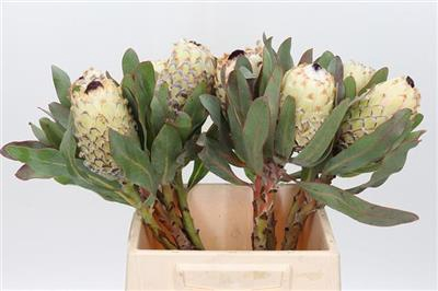 <h4>PROTEA M SNOW QUEEN</h4>