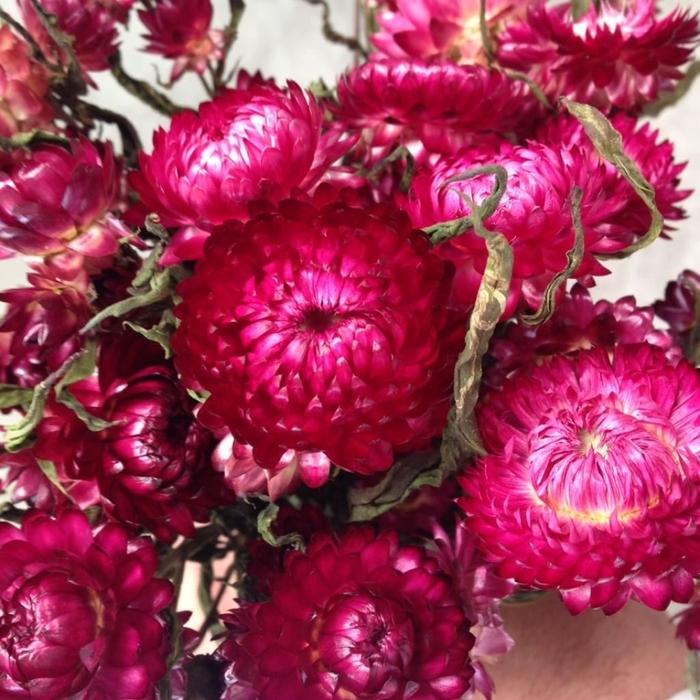 <h4>DRIED FLOWERS - HELICHRYSUM HEADS DARK PINK</h4>