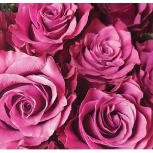 Rosa Purple Blueberry