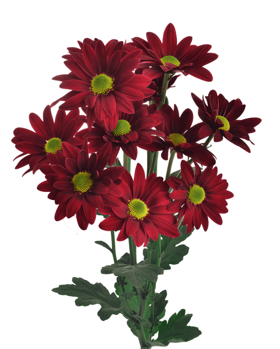 <h4>Chrysanthemum spray bacardi rojo</h4>