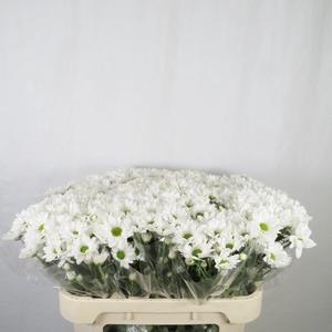Chrysanthemum spray bacardi blanca